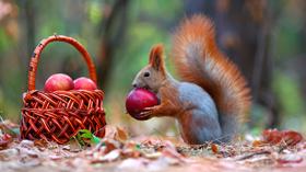 croque pomme